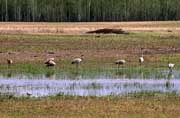 Creamer's Field Sandhill Cranes